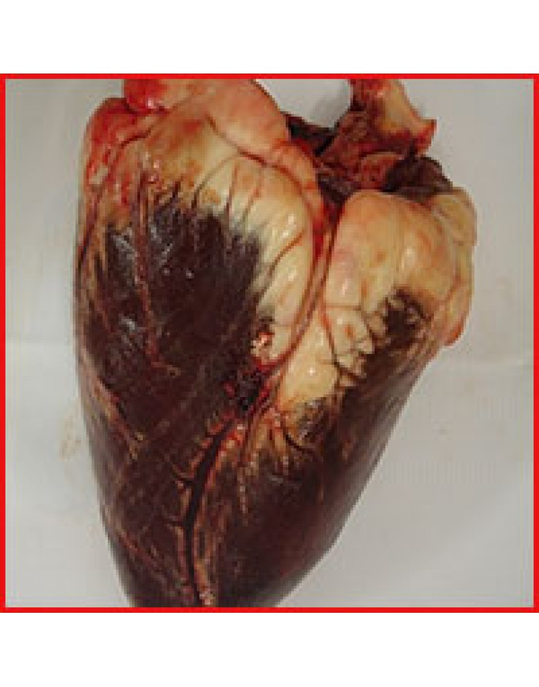 Amazing Cow Heart Anatomy Crest - Anatomy And Physiology Biology ...